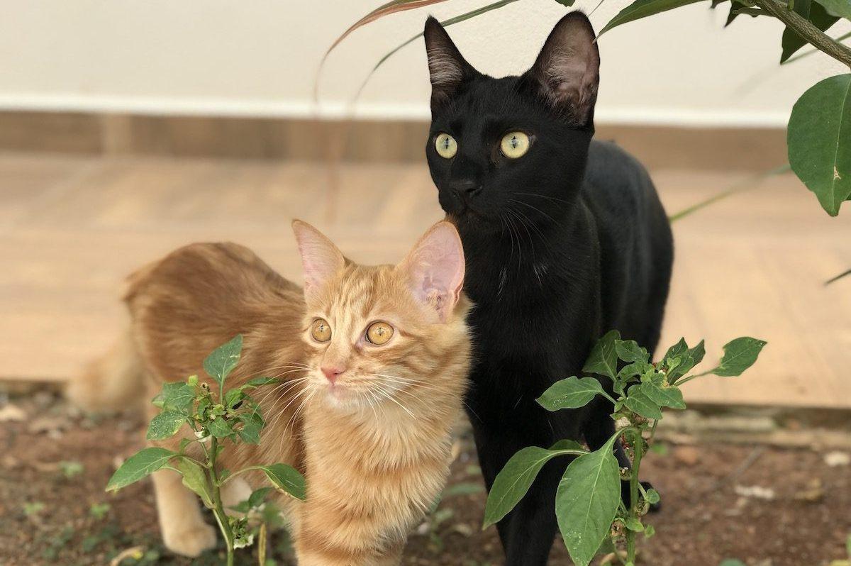 Casal de Gatos