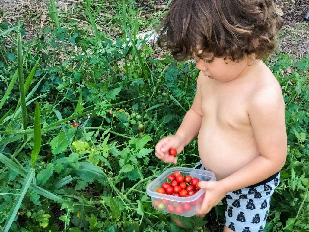 como plantar tomatinho cereja